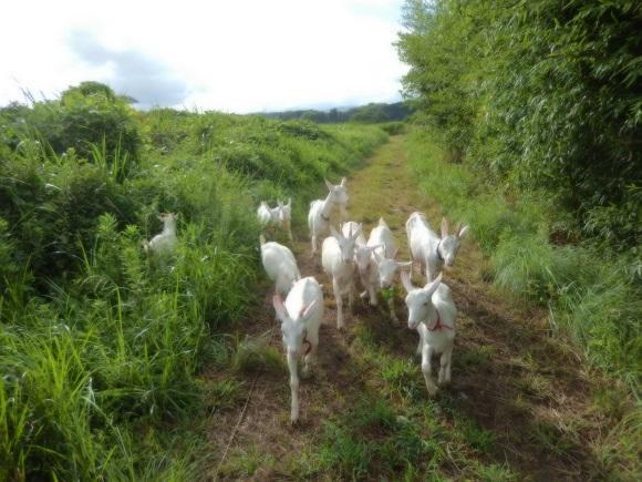 竹林の間道を歩く山羊