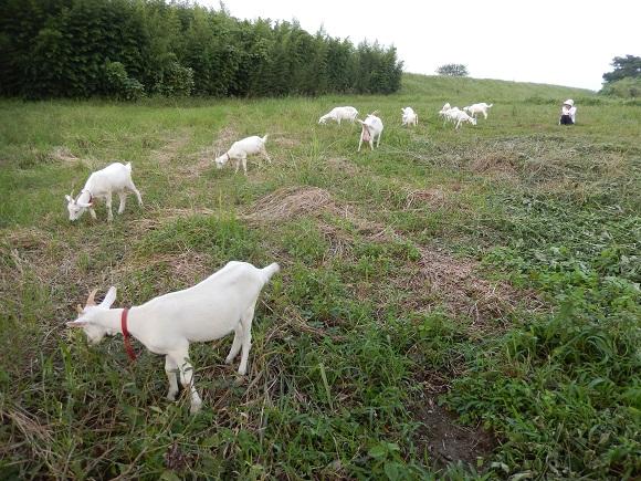 川原で食事中の山羊