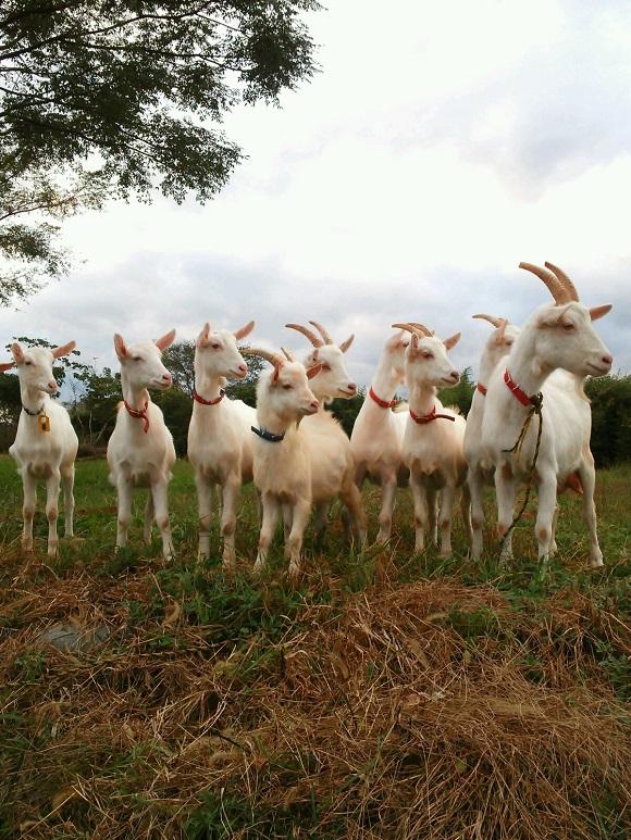 一斉に振り向く山羊たち